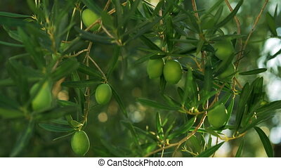 Branch with green olives - Close-uo shot of tree branch with...