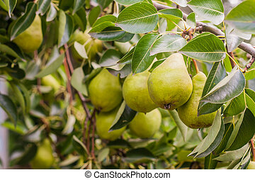 Branch with green pears on a tree in summer