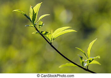 branch with green spring leaves