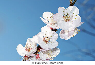 branch with many of cherry blossoms in spring