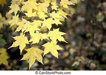 Branch with maple yellow leaves. photo image