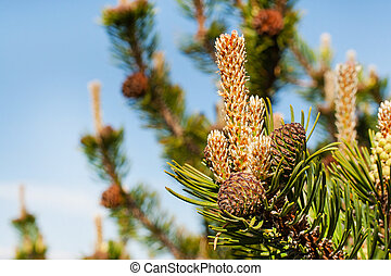 Branch with needles and Pine Cones close up