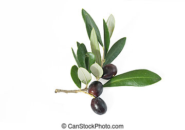 branch with olives - branch with black ripe olives isolated ...