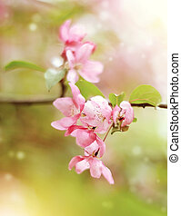 Branch with pale pink flowers of Apple tree