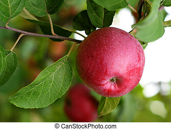 red apple - branch with red apple