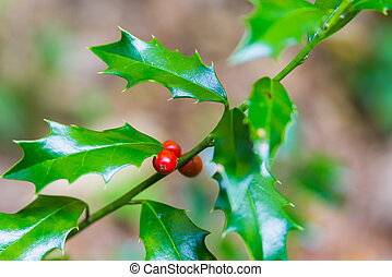 Branch with red berries and leaves of Ilex Aquifolium