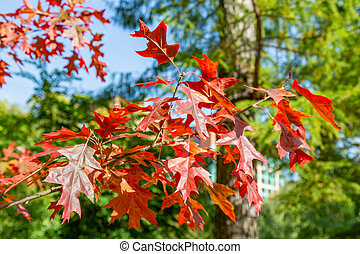 Branch with red leaves of autumn maple