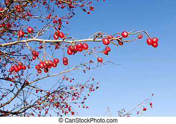Branch with red ripe wild hawthorn