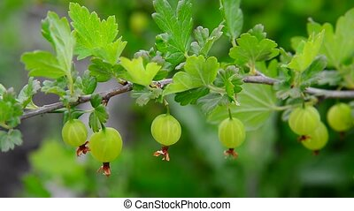 Branch with ripe gooseberry swings in wind