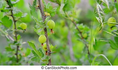 Branch with ripe gooseberry swings in wind - A branch with...