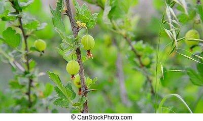 Branch with ripe gooseberry swings in wind