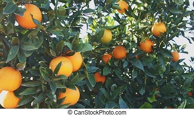 Closeup on ripe orange fruit growing in garden