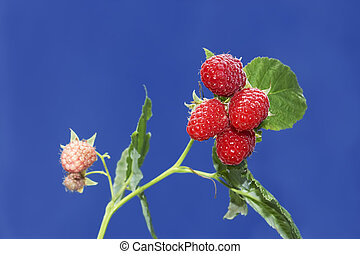 Branch with ripe raspberry berries