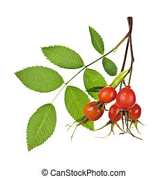 Branch with rose hips - Rose branch with rosehips isolated...