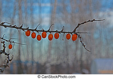 Branch with sea buckthorn in the fall