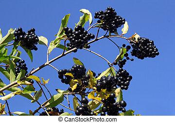 branch with the bird cherry (Prunus padus)