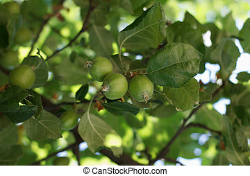 Apple Orchards - Branch with the unripe growing apples in an...