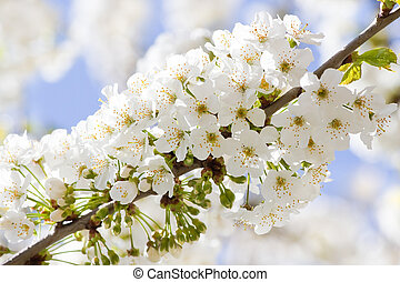 Branch with white cherry blossom in spring