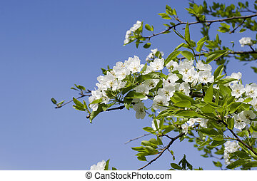 Branch with white flowers against the blue sky. Spring white flowers of an apple-tree in a park close-up.