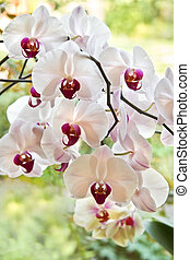 Branch with white Moth Orchid flowers