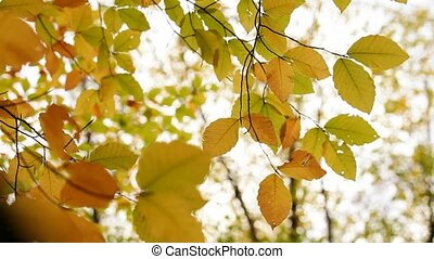Branch With Yellow Leaves - Beautiful yellow leaves on a...