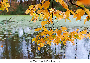 branch with yellow leaves over the pond, autumn forest and lake