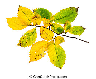 branch with yellowing leaves of elm tree in autumn