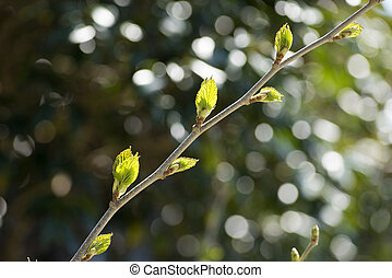 Branch with young leaves - Mulberry branch with fresh green...