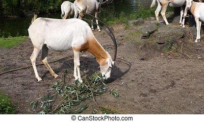 branche arbre, cimeterre, antilope, manger, espèces, oryx, feuilles, sauvage, éteint