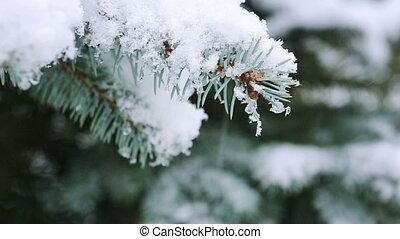 branche, arbre sapin, snowfall.