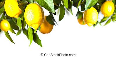 branche, blanc, citron, fond, isolé