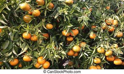 branche, mûre, mandarines, jardin