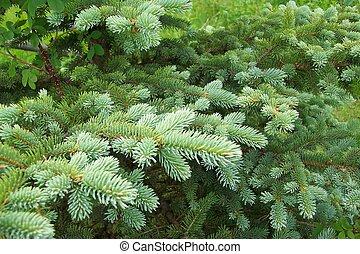 branche, pin, landscap