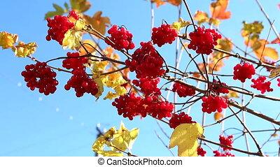 branche, viburnum, viburnum