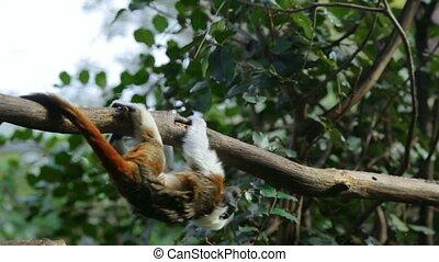 branche, zoo, espiègle, tamarines