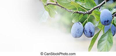 branches., árbol de ciruela, primer plano, fruits, crecer
