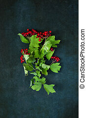 Branches and fruits of ripe red viburnum on a dark background