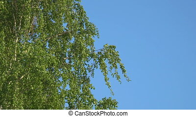 Branches and leaves of birch in the wind - Branches and...