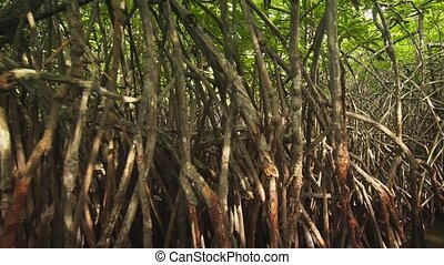 Branches and Roots of Mangrove Thicket in Hikkaduwa River ...