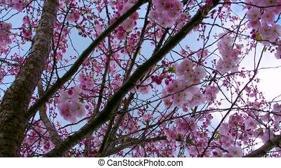 branches, arbre, parc, haut, sakura, fond, inclinaison
