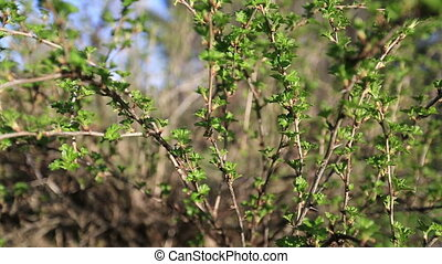 Branches currant swaying in the wind