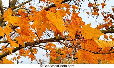 branches, feuilles, arbre, automne, clair, érable