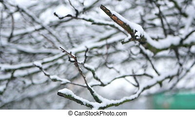 Branches frost snow - Branches covered with hoar frost shoot