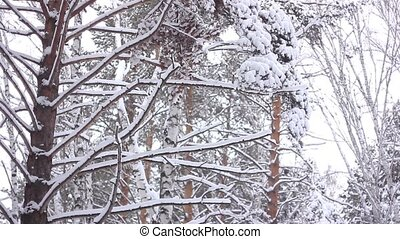 branches in the snow - Tracking Shot through snowy pine...