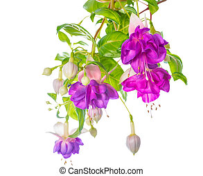 branches lilac fuchsia flower is isolated on white...