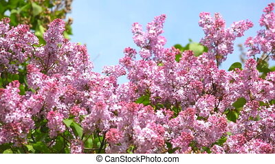 branches, lilas