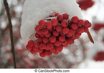 Branches mountain ash covered with snow.