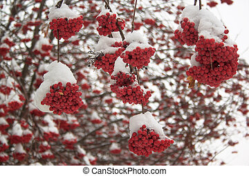 Branches mountain ash covered with snow in winter forest.