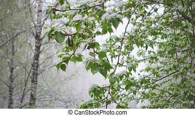 branches, neige, arbres, vert, lentement, tomber