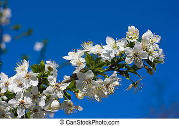 Branches of a blossoming apple tree against the blue sky